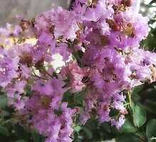 Mauve Crape Myrtle 1 by Christopher Johnson