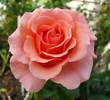 Beauty Pageant Rose by MarianBendeth