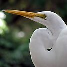 Great Egret by Judy Wanamaker
