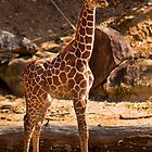 Junior Giraffe by Jay Gross