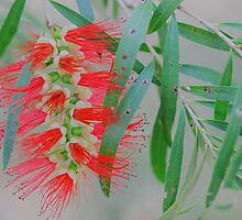 Callistemon viminalis  by andrachne