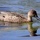 Australian Grey Teal by mosaicavenues