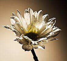 Daisy day by Liv Stockley