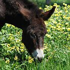 Happy as a donkey in a daisy patch by Clare McClelland