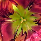 Parrot Tulip by Loree McComb