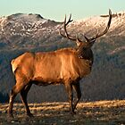 Bull Elk In The Colorado Tundra by Gregory J Summers