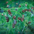 Coniferous Tree Branch with Cones by Jena Ferguson
