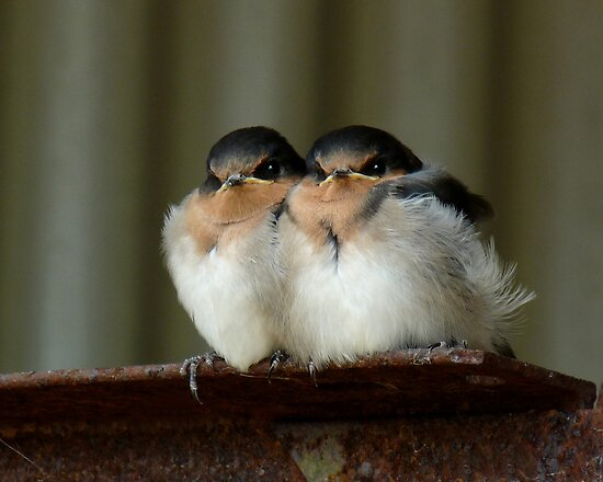 Swallow Chicks dans image belle flat,550x550,075,f