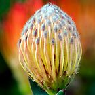 Pincushion Protea by Ann  Palframan