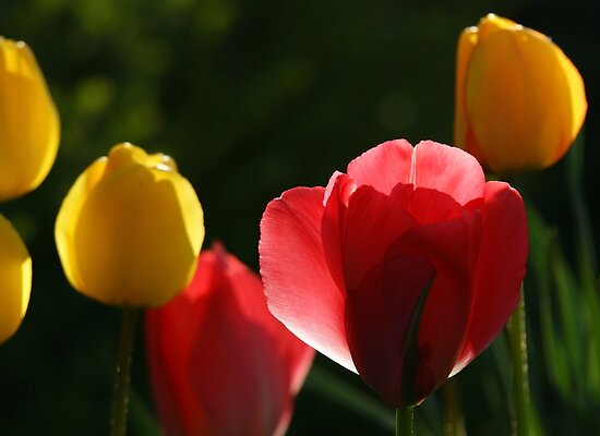 "Tulips against the light at ""Oaklands"" by Ian Midwinter"