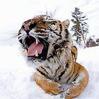 Siberian Tiger 47 by mrshutterbug
