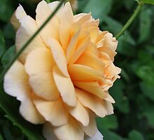 Peach Rose by KMorral