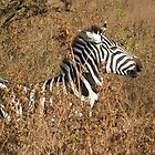 zebra at ngorongoro crater by Iris Mackenzie