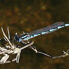 Blue Damsel too by Rick Playle