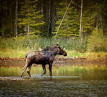 Casual Moose by Gary Smith