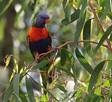 Swainsons Rainbow Lorikeet in Paperbark Sapling by Kate Lawrence