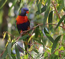 Swainsons Rainbow Lorikeet in Paperbark Sapling by Kate Lawrence