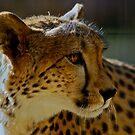 Safari West Cheetah by Ken Scarboro