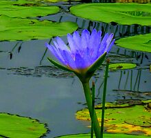 Water Lilly Cooroibah, QLD, 3 by Angela Gannicott