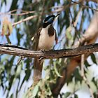 Blue Faced Honeyeater by aussiebushstick