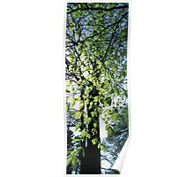 Beech tree in spring Poster