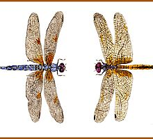 2 Dragonflies by Thom Glace