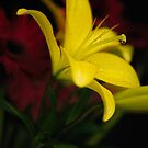 Low-key Yellow Lily by edge2edgephoto