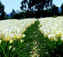 White Velvet - Tulip Plantation - NZ by AndreaEL
