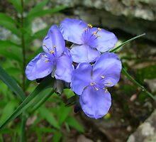 "Ozark Spiderwort Wildflower ""royal purple"" by DeepwoodsImages"