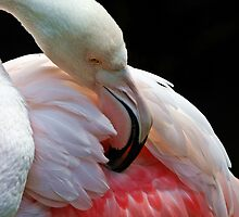 Greater Flamingo by Barb Leopold