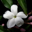 Jasmine - First Flower by Kim  Lambert