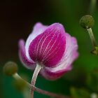 Anemone Bud by ElyseFradkin