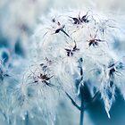 Cotton Grass Seedhead blues by pixel8it