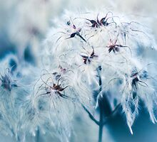 Cotton Grass Seedhead blues by pixel8it