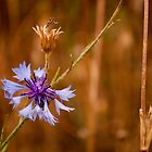 Lone cornflower by David Isaacson