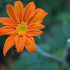 Orange Petals by DakiniGoddess