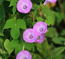 Morning Glories by Virginia N. Fred