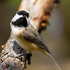 Black Capped Chickadee by Chris Heising