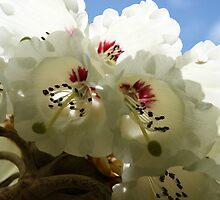 Rhododendrons by michellerena