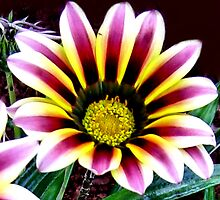 Gazania - Proudly South African by Mariaan Maritz Krog Photos & Digital Art
