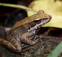 Broad Palmed Rocketfrog by john  Lenagan