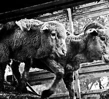 unloading sheep, rutherglen, victoria by Georgina James