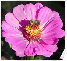Bee and Pink Flowe Tyler Rose Garden Center Poster