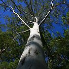 Massive Gum Tree by aussiebushstick