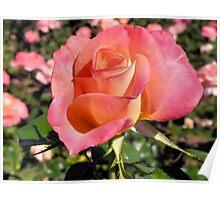 Peach Rose Tyler Rose Garden Center Poster
