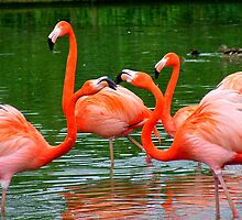 Flamingos Fighting by dawnandchris