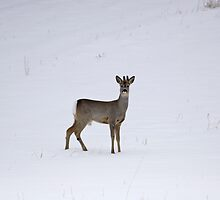 Roe buck in winter 3 by intensivelight