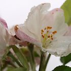 Spring blossoms in the rain by Virginia McGowan