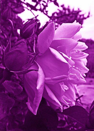 Magical rose by sarnia2