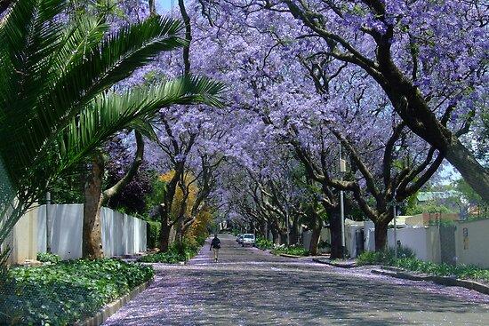 Johannesburg's Jacaranda Trees